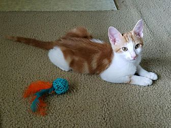 Domestic Shorthair Kitten for adoption in Wichita Falls, Texas - Pablo Picasso