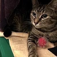 Domestic Shorthair Cat for adoption in Philadelphia, Pennsylvania - Bobby