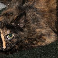 Domestic Mediumhair Cat for adoption in Marietta, Ohio - Libby (Spayed)