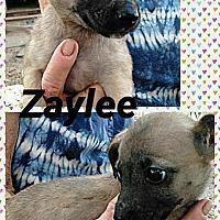 Adopt A Pet :: Zaylee - Ringwood, NJ