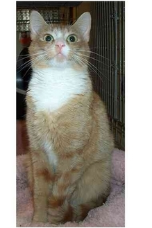 Domestic Shorthair Cat for adoption in Acme, Pennsylvania - Gee Gee