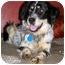 Photo 2 - English Setter/Australian Shepherd Mix Dog for adoption in Latrobe, Pennsylvania - Loraine