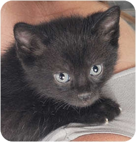 Domestic Shorthair Kitten for adoption in Chicago, Illinois - Audi