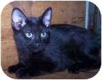 Domestic Shorthair Kitten for adoption in Colorado Springs, Colorado - K-Starla2-Timogen