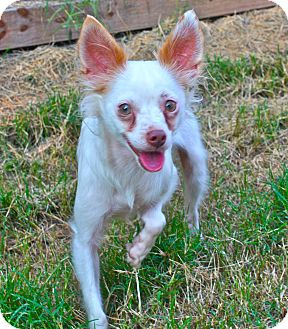 Chihuahua Dog for adoption in Clarksville, Tennessee - Mozart