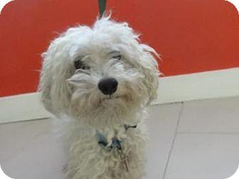 Poodle (Miniature) Mix Dog for adoption in Philadelphia, Pennsylvania - Henry