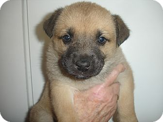 German Shepherd Dog Mix Puppy for adoption in Old Bridge, New Jersey - India