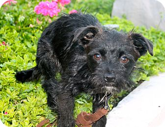 Terrier (Unknown Type, Medium)/Maltese Mix Puppy for adoption in Los Angeles, California - Whip