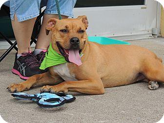Boxer Mix Dog for adoption in Houston, Texas - April