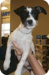 Bichon Frise Mix Puppy for adoption in Anza, California - Bichon Baby 2