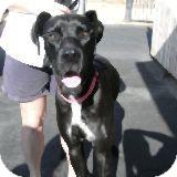Labrador Retriever Mix Dog for adoption in Fallbrook, California - Max