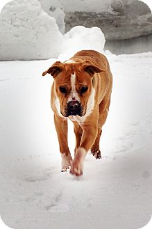 Boxer/American Staffordshire Terrier Mix Dog for adoption in Durham, New Hampshire - DUKE the beefcake