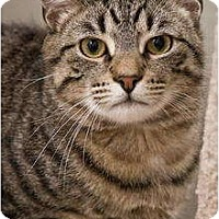Domestic Mediumhair Cat for adoption in Beacon, New York - Christian