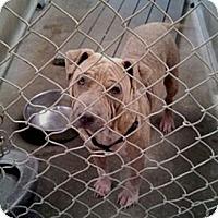 Adopt A Pet :: Mr. Majestic URGENT - Sacramento, CA