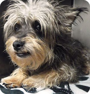 Yorkie, Yorkshire Terrier Mix Dog for adoption in Hammonton, New Jersey - Gizmo
