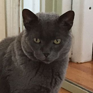 Russian Blue Cat for adoption in Manchester, Connecticut - Smokey