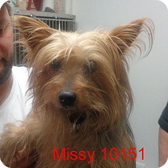 Yorkie, Yorkshire Terrier Dog for adoption in Greencastle, North Carolina - Missy