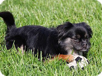 Pekingese/Affenpinscher Mix Dog for adoption in Virginia Beach, Virginia - Monkey