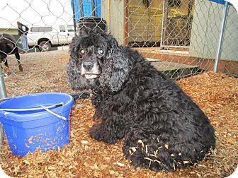 Cocker Spaniel Dog for adoption in Tillamook, Oregon - Daisy