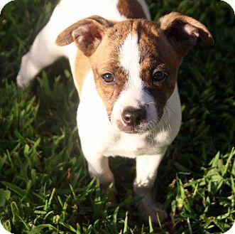 Beagle/Labrador Retriever Mix Puppy for adoption in Salem, New Hampshire - PUPPY RACHEL