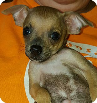 Chihuahua/Terrier (Unknown Type, Small) Mix Puppy for adoption in albany, New York - Gage