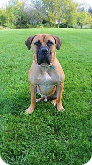 Bullmastiff Dog for adoption in Virginia Beach, Virginia - Taj-IL