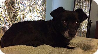 Terrier (Unknown Type, Medium)/Chihuahua Mix Dog for adoption in Nanuet, New York - Davis
