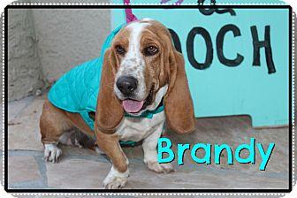 Basset Hound Mix Dog for adoption in Phoenix, Arizona - Brandy
