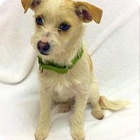 Adopt A Pet :: Koopa - Mission Viejo, CA