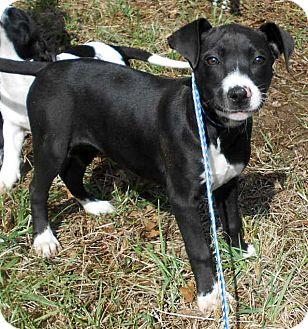 Staffordshire Bull Terrier/Labrador Retriever Mix Puppy for adoption in Allentown, New Jersey - Kismet