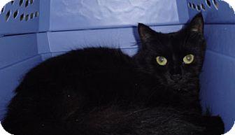 Domestic Shorthair Cat for adoption in Wakefield, Massachusetts - Peony