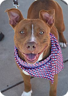 Pit Bull Terrier Mix Dog for adoption in Dublin, California - Mesa