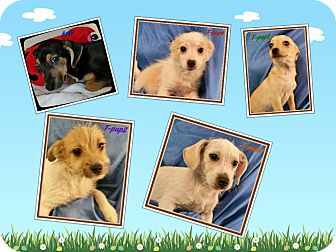 Terrier (Unknown Type, Small) Mix Puppy for adoption in Ahoskie, North Carolina - Arlo,Allie,Anton, Addison