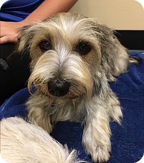 Cairn Terrier/Cairn Terrier Mix Dog for adoption in Thousand Oaks, California - Mocha