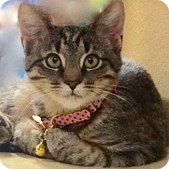 Domestic Shorthair Kitten for adoption in Long Beach, New York - Buddah