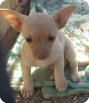 Chihuahua Mix Puppy for adoption in Las Vegas, Nevada - Huera's Hector