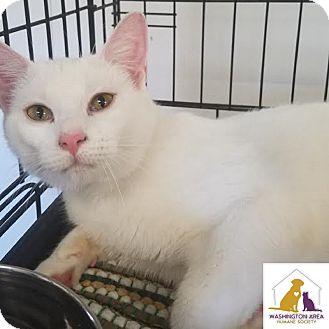 Domestic Shorthair Cat for adoption in Eighty Four, Pennsylvania - Marshmellow