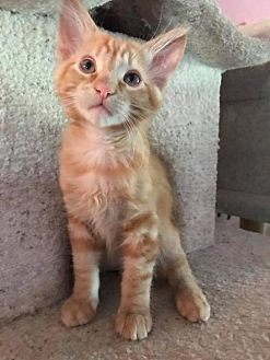 Domestic Shorthair Kitten for adoption in Napa, California - Kitten: Aiden