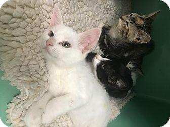 Domestic Shorthair Kitten for adoption in Lafayette, California - Max