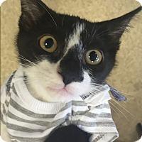 Domestic Shorthair Kitten for adoption in Gilberts, Illinois - Hilton