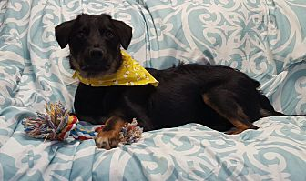 Terrier (Unknown Type, Small) Mix Dog for adoption in Hawk Point, Missouri - Sapphire