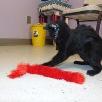Adopt A Pet :: cecilia - Grand Island, NE