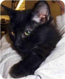 Domestic Shorthair Kitten for adoption in Overland Park, Kansas - Puff