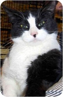 Domestic Shorthair Cat for adoption in Overland Park, Kansas - CeCe