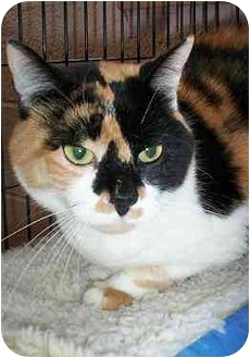 Calico Cat for adoption in Honesdale, Pennsylvania - Lucy