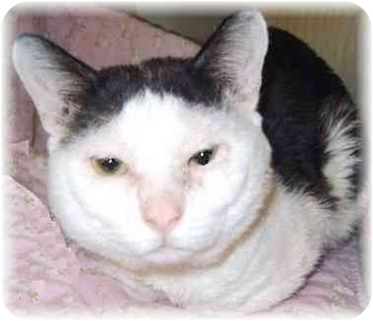 Domestic Shorthair Cat for adoption in Grass Valley, California - Panda