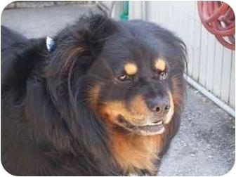 Chow Chow/German Shepherd Dog Mix Dog for adoption in Spokane, Washington - Gonzo