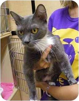 Domestic Mediumhair Cat for adoption in Woodstock, Georgia - Smokey
