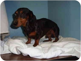 Dachshund/Dachshund Mix Dog for adoption in Bristow, Oklahoma - Dooley