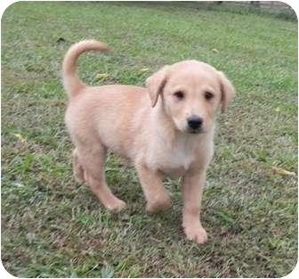 Golden Retriever/Sheltie, Shetland Sheepdog Mix Puppy for adoption in Hagerstown, Maryland - Gobber